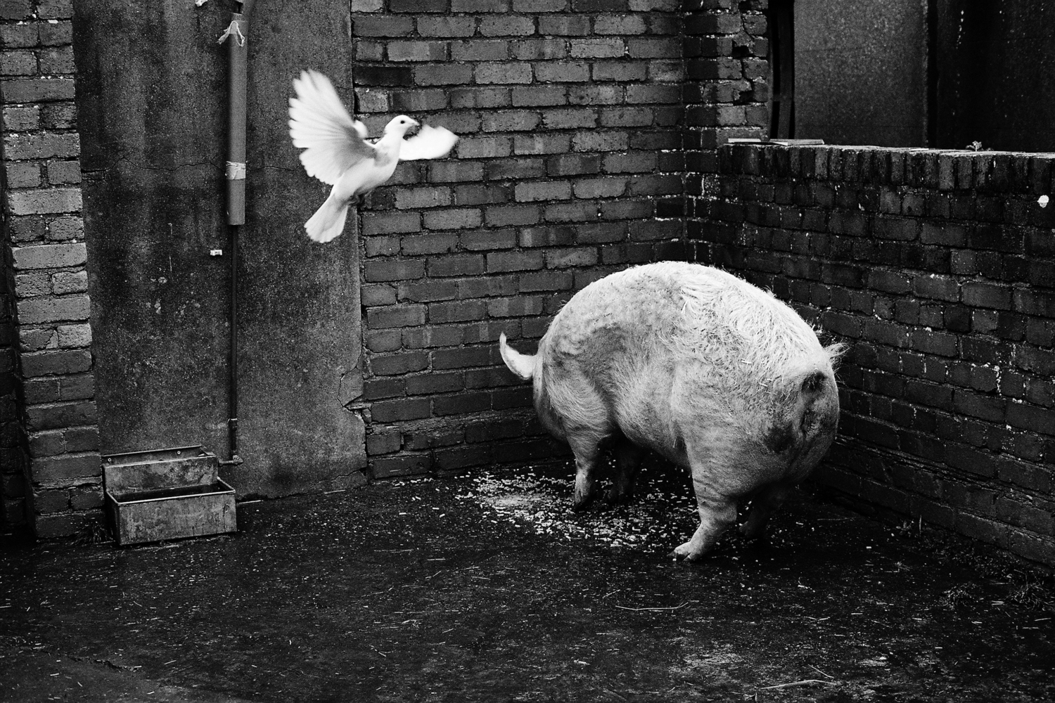 pig and a white bird in a farm yard